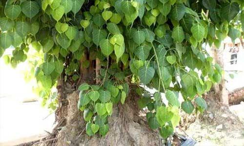 पीपल के वृक्ष पर करें यह उपाय, सब कार्य होंगे सिद्ध