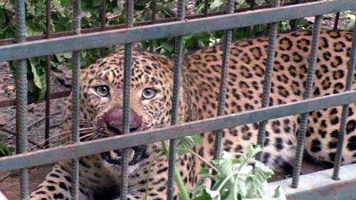 बड़वानी में आतंक फैलाने वाला आदमखोर तेंदुआ को पकड़ा