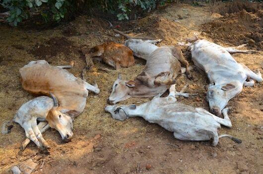 गौशाला की बदहाल व्यवस्थाओं ने ली एक दर्जन गायों की जान, श्वानों ने शव नोंचे