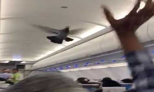 गो एयर फ्लाइट में उड़ान भरने के दौरान घुसे दो कबूतर, यात्री हुए परेशान