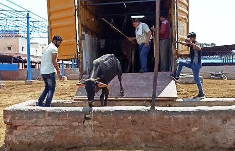 मथुरा : पुलिस ने गौवंश से भरा कंटेनर पकड़ा, सभी गायों को सुरक्षित गौशाला भेजा