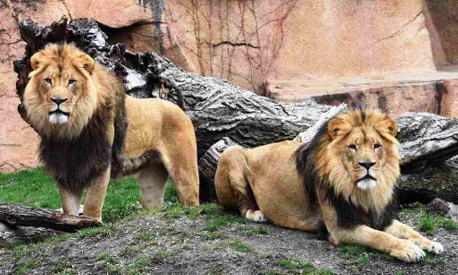 जानवरों में पहुंचा कोरोना :  हैदराबाद के जूलॉजिकल पार्क में 8 शेर मिले संक्रमित