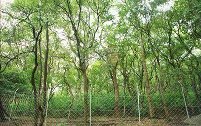 धीरे-धीरे सिमट रहा 110 एकड़ में फैला चंदन वन