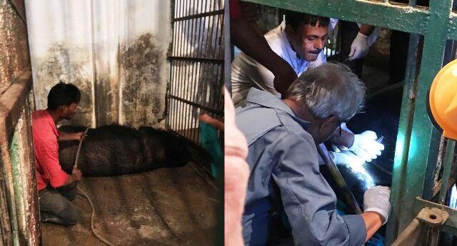 चिड़ियाघर के बूढ़े हिमालयन भालू का ऑपरेशन, चेहरे पर थे घाव, एक आँख में थी सूजन