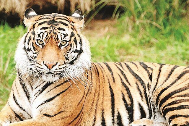 एक साल में प्रदेश में 9 बाघों का शिकार
