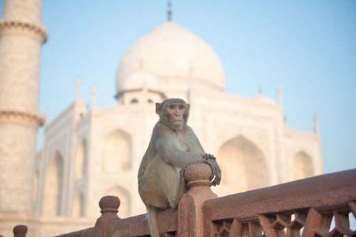 बंदरों का आतंक रोकने को खर्च किए जाएंगे 55 करोड़
