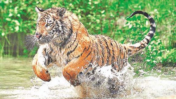 रातापानी का टाइगर गुजरात के जंगलों में मृत मिला