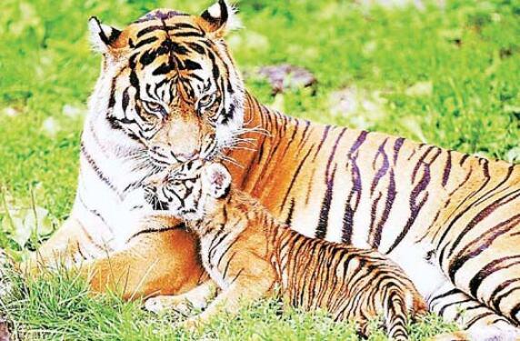 बाघों की मौतों के बाद भी गंभीर नहीं सरकार