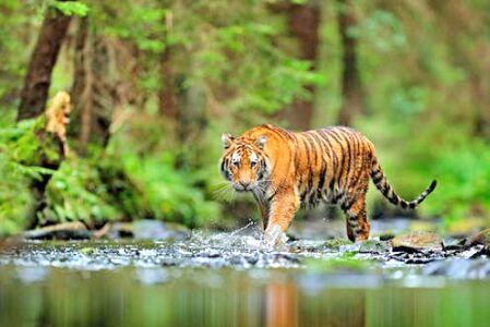कौन बताएगा बाघों की मौत कैसे हुई ?