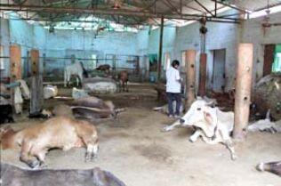 नहीं थम रहा गायों के मरने का सिलसिला