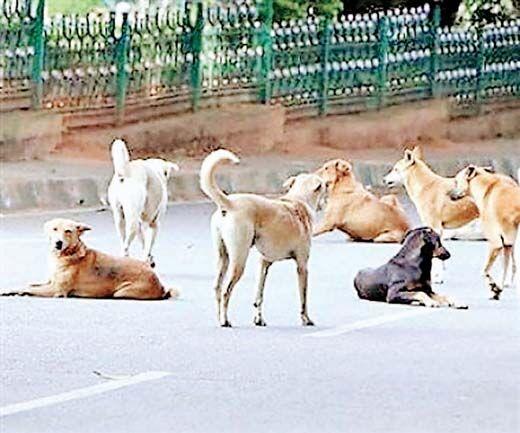 हर दिन 40 लोगों को काट रहे हैं आवारा कुत्ते, पकडऩे में असफल नगर निगम