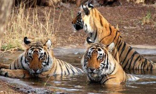 मध्यप्रदेश को फिर मिला टाइगर स्टेट का दर्जा, 526 बाघों के साथ देश में अव्वल
