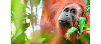 तेजी से लुप्त हो रहे वनमानुष की नई प्रजाति की हुई खोज