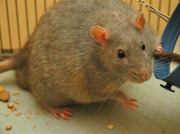 अब ट्रेनों के एसी कोच में भी चूहों का आतंक